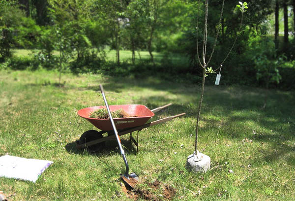 Подготовка к посадке яблони