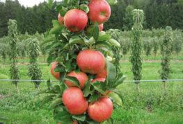 Плоды на колоновидной яблоне