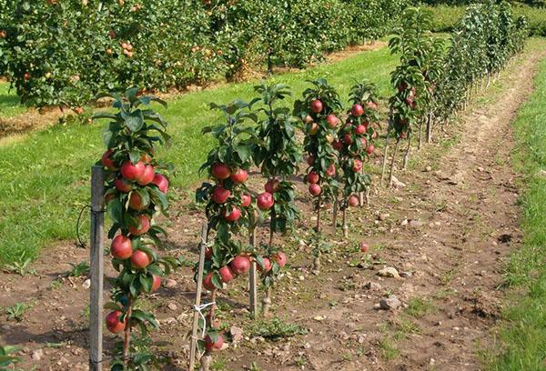 Колоновидные яблони с плодами