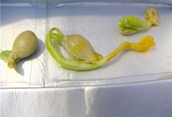 Проращивание косточки мандарина