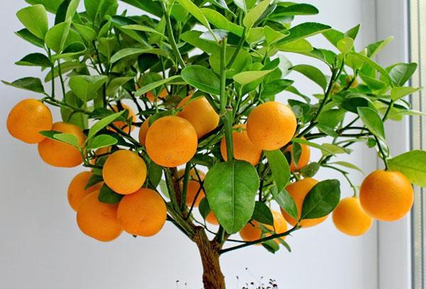 Мандариновое деревце с плодами