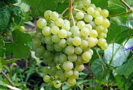 Виноград Самохвалович