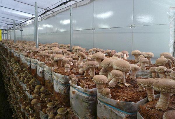 Выращивание грибов зимой в теплице