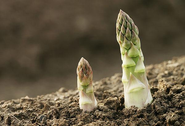 Выращивание спаржи из семян на даче: рекомендации