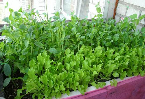 Выращивание зелени на лоджии