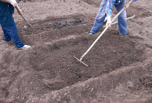 Подготовка грунта для ежевики