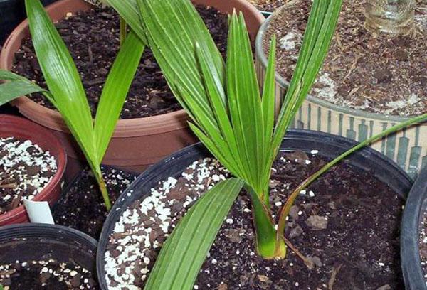 Молодая финиковая пальма