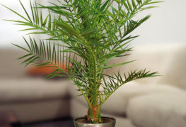 Финиковая пальма в интерьере