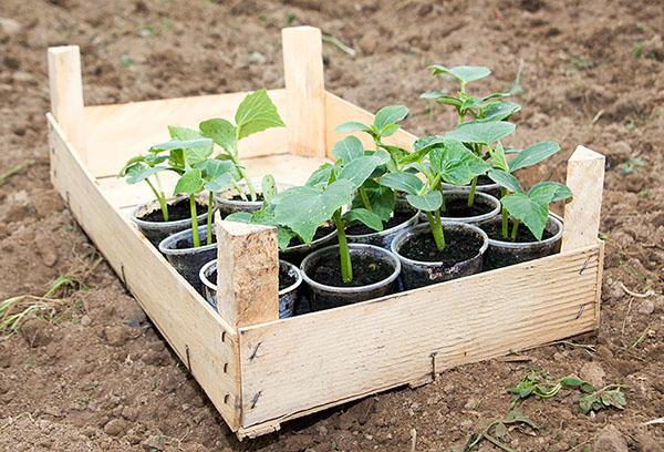 Ящик с рассадой кабачков