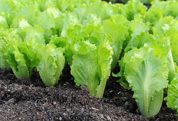 Грядка с листовым салатом