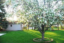 Цветущее дерево на участке