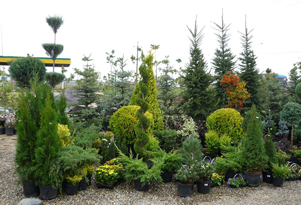 Саженцы декоративных деревьев