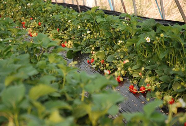 Выращивание клубники финским способом