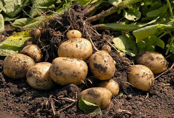 Вырытые клубни картофеля