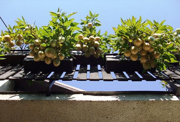 Выращивание пепино на балконе