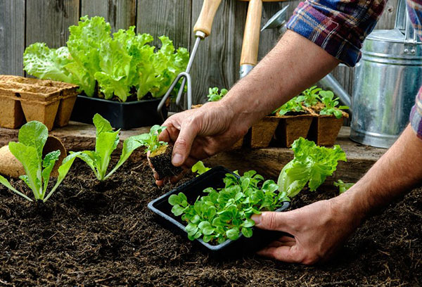 Высадка рассады салата на грядку