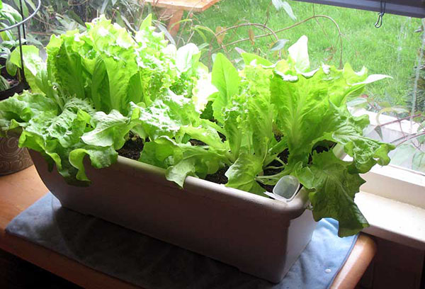 Салат на подоконнике