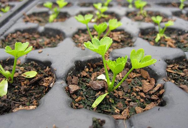 Рассада листового сельдерея