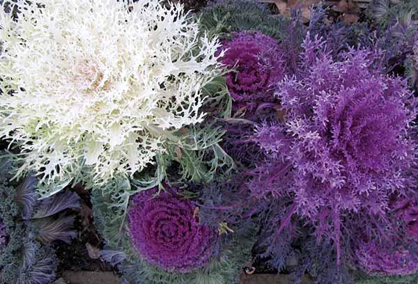 Разновидности декоративной капусты