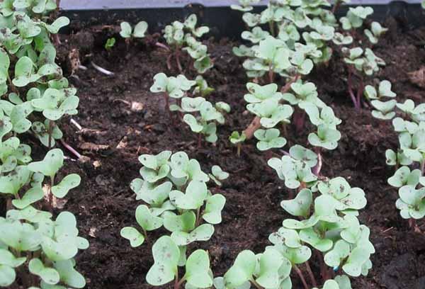 Выращивание семян капусты на постоянном месте