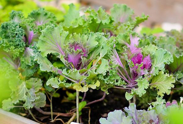 Выращивание рассады декоративной капусты