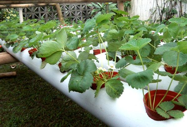 Выращивание клубники в горизонтальной трубе методом гидропоники