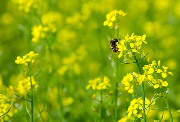 Пчела на горчице