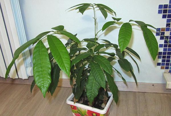 Лонган, растущий в домашних условиях