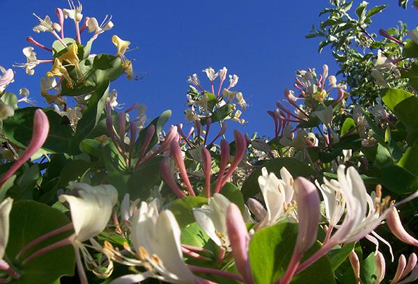 Цветение жимолости каприфоль