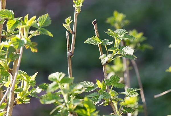 Ветви малины