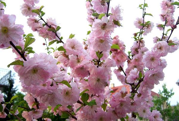 Цветки миндаля