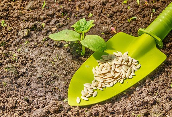 Семена и всходы огурца