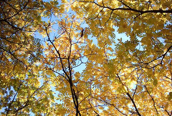 Маньчжурский орех осенью