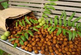 Урожай маньчжурского ореха
