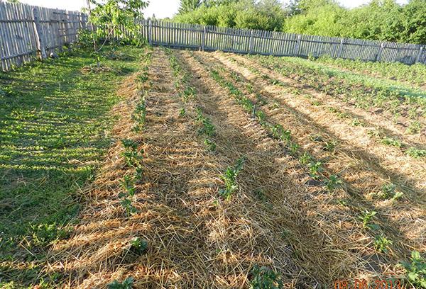 Картофельные грядки под соломой
