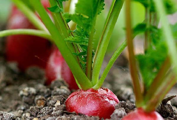 Спелый редис