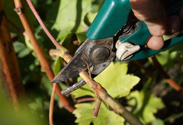 Заготовка черенков винограда