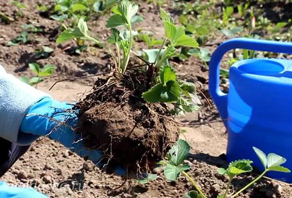 Размножение садовой земляники