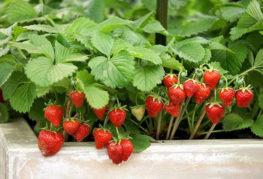 Плодоношение садовой земляники