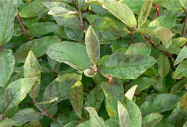Поврежденные листья жимолости
