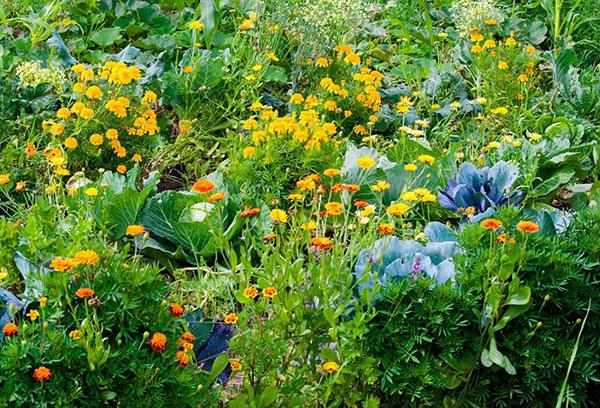 Капуста и цветы на одной грядке
