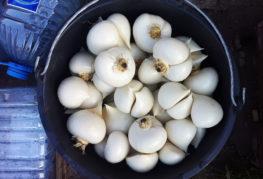 Урожай суворовского лука