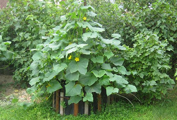 Кустовое выращивание огурцов