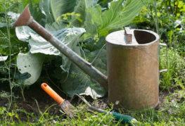 Полив и подкормка капусты