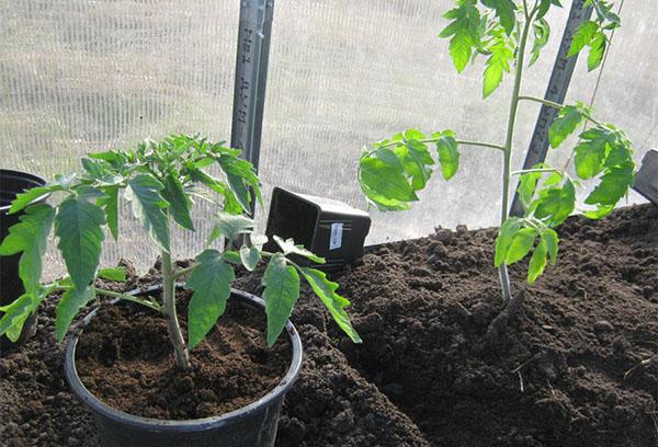Высаживание рассады томата в теплице