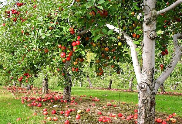 Яблони плодоносят