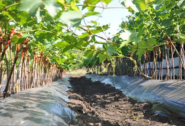 Саженцы винограда в питомнике