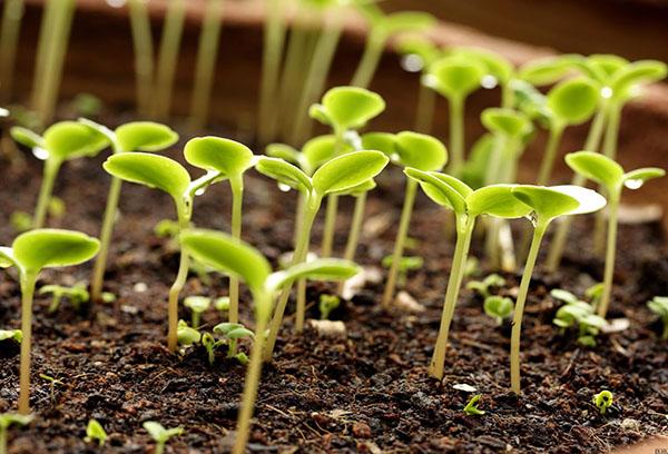 Всходы растний