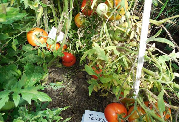 Желтеют листья томатов