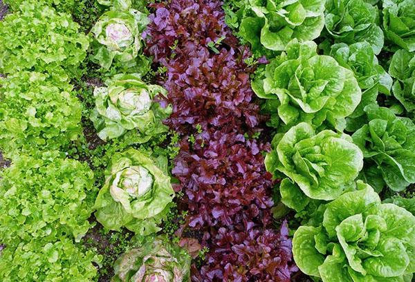 Листовой салат на грядках